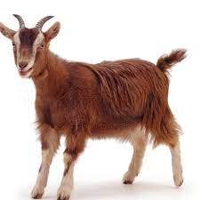 Merlot Goat
